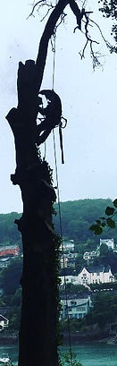 Dartmouth tree surgery beech dismantle