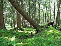 Hazardous tree dangerous treework trees