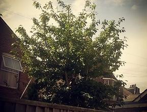 Cherry tree pruning exeter devon