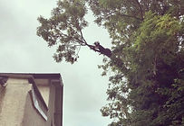 Tree surgeon crown reduction torquay