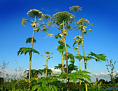 Giant hogweed ecological surveying