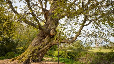 100 guinea oak at The Vyne