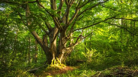 The majestic beech at Plas Newydd
