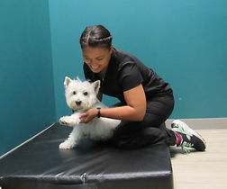 Dog getting chiropractic adjustment