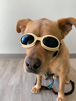 Puppy with goggles on for laser therapy