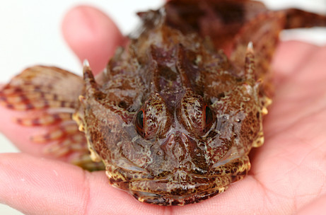 scorpion fish - photo by Jane Pickles 2014
