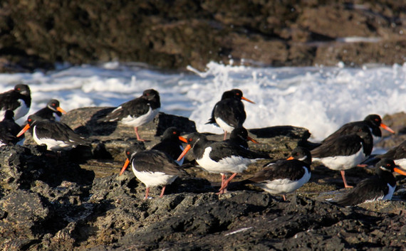 oyster catchers by Jane Pickles