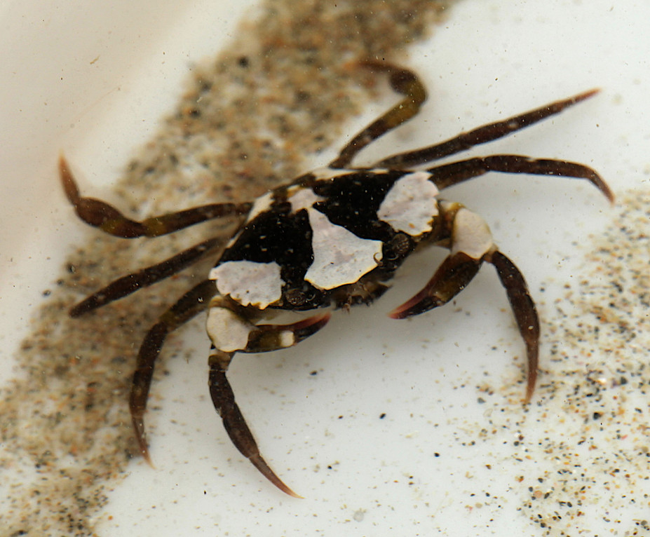 young shore crab - photo by Jane Pickles 2014