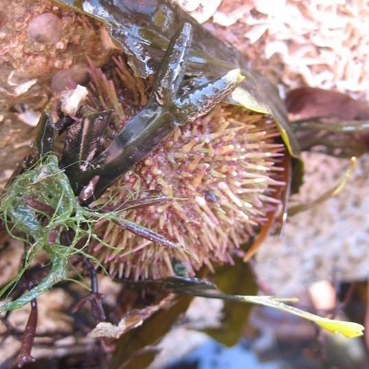 urchin by National Trust.jpg