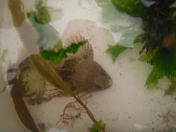 short spined scorpion fish 2017