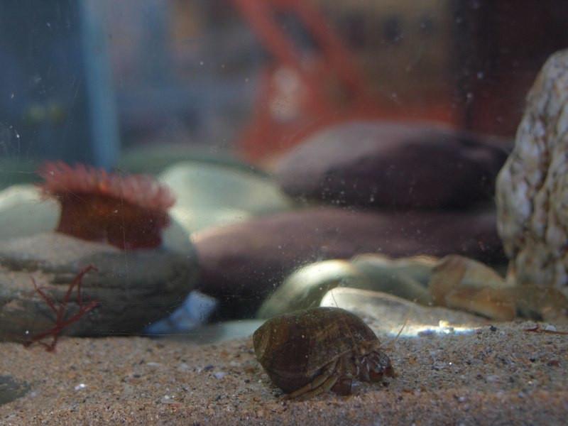 hermit crab photo of MC tank 2015