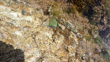 2017 rock pool ramble find - snakelocks anemone