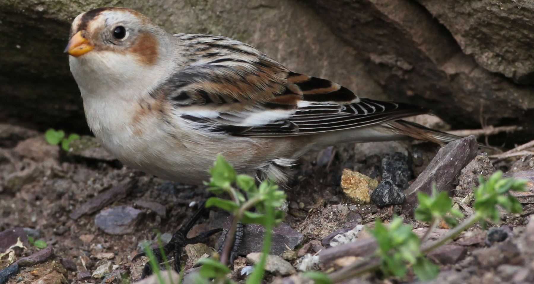 snow bunting by Jane Pickles