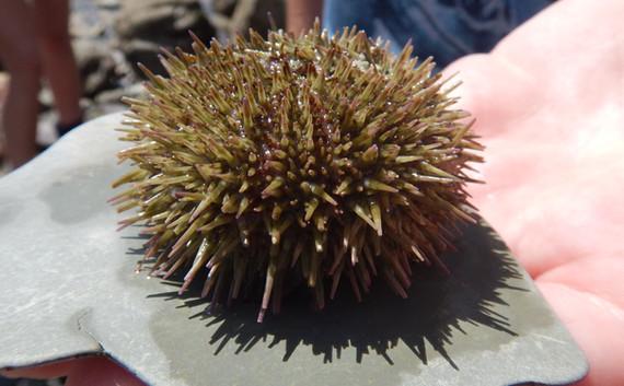 Green sea urchin on grey plastic