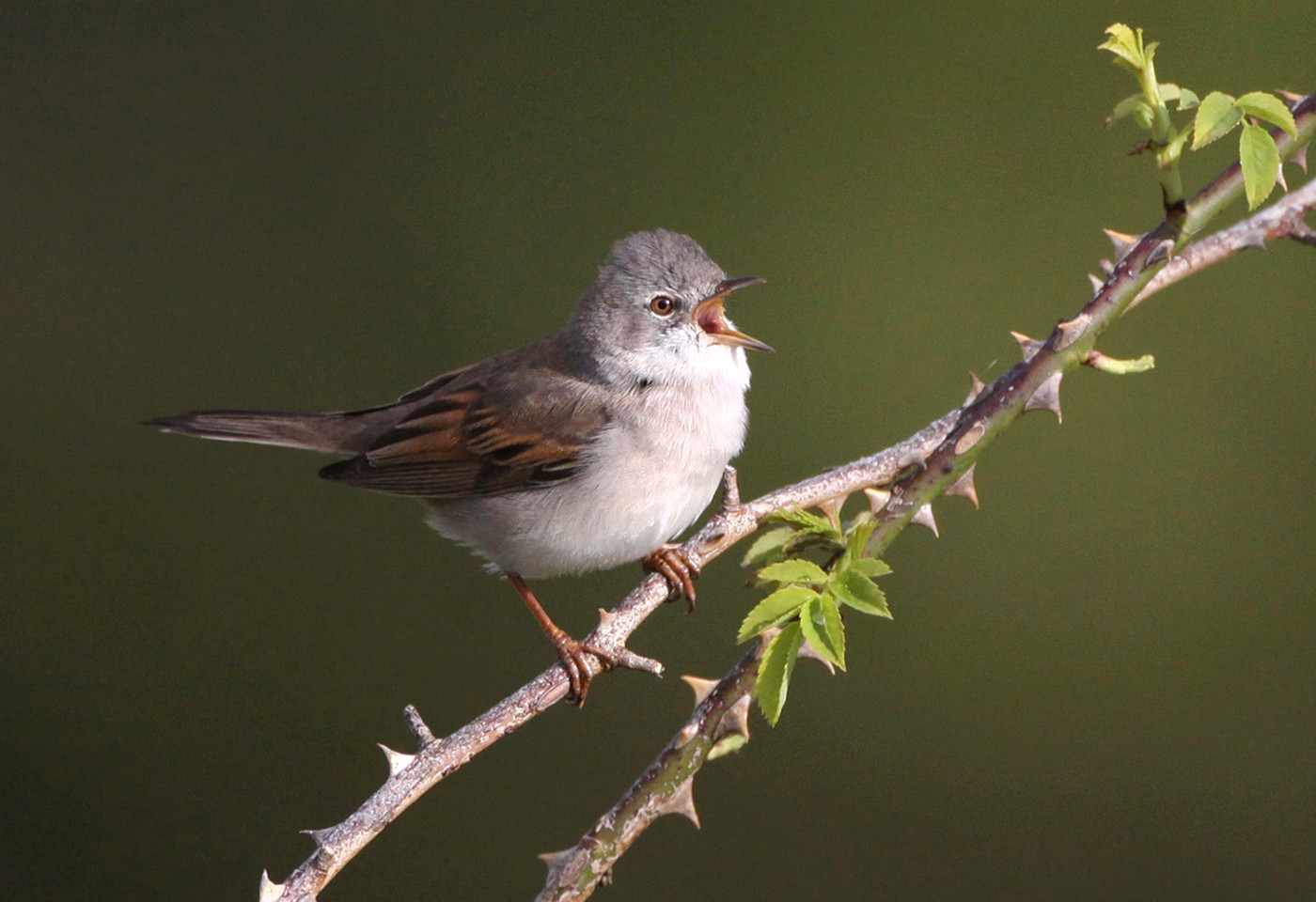 whitethroat by Jane Pickles
