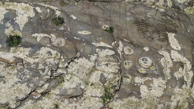 Barnacles and limpets.jpg
