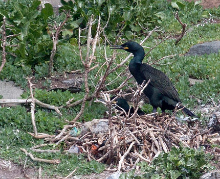 shag nesting by Jane Pickles.jpg