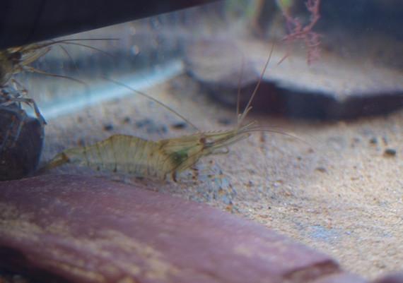 prawn photo of MC tank 2015