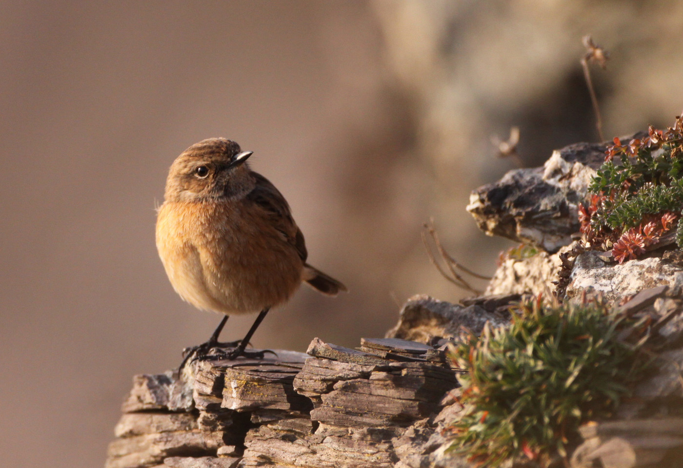 stonechat by Jane Pickles