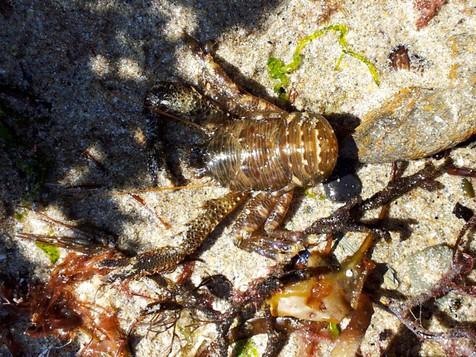 squat lobster by Sarah Millward
