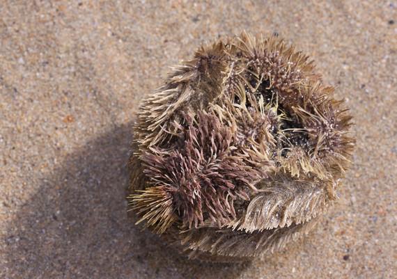 potato urchin by Jane Pickles