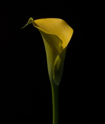 Signed%20Yellow%20Lily%202_edited.jpg