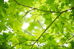 fresh_green_maple_leaves_513826.jpg