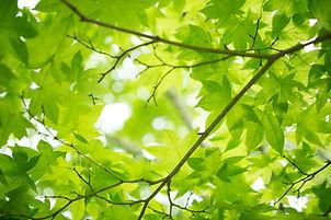 fresh_green_maple_leaves_513826.jpg