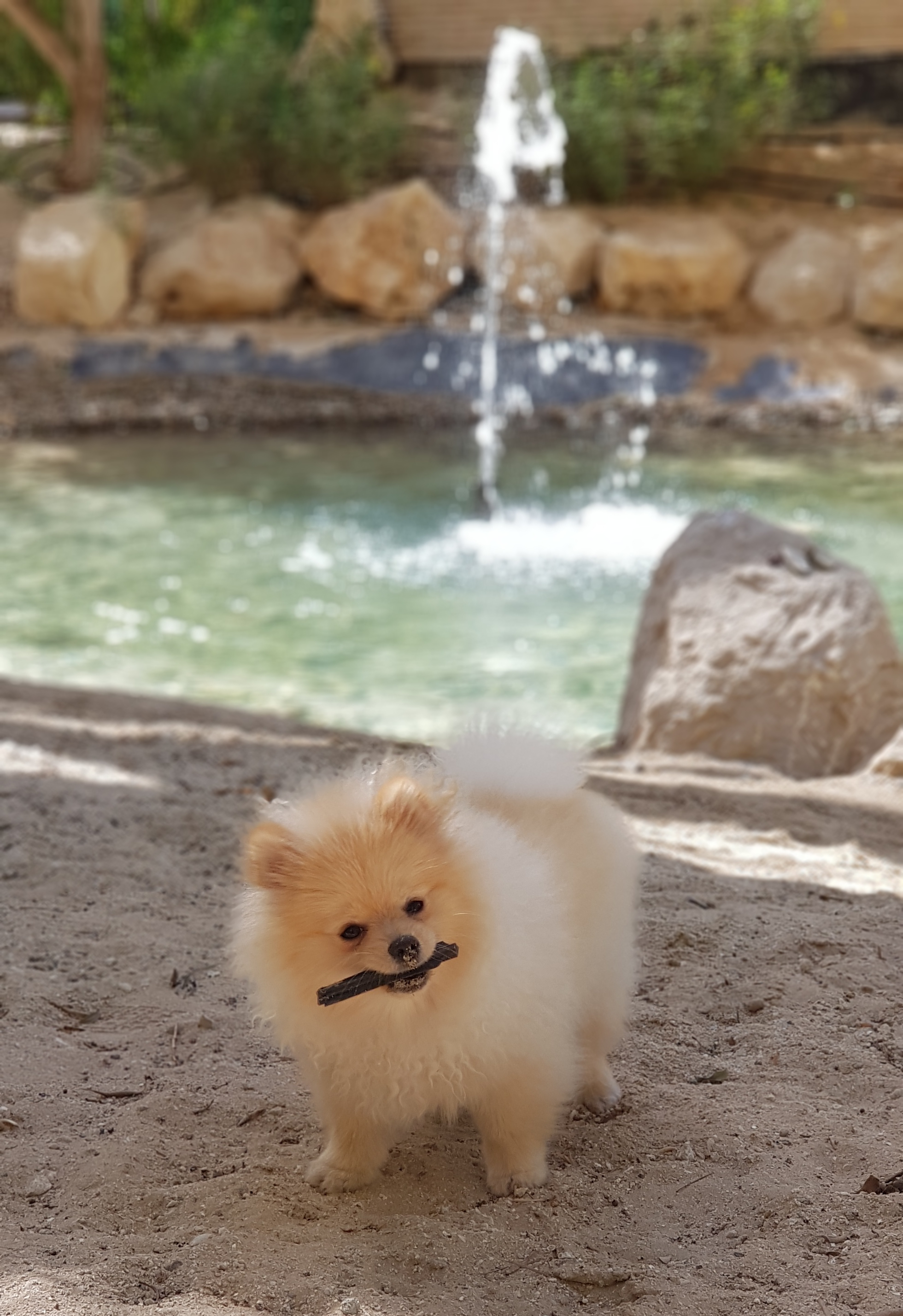 Rosie Pomeranian