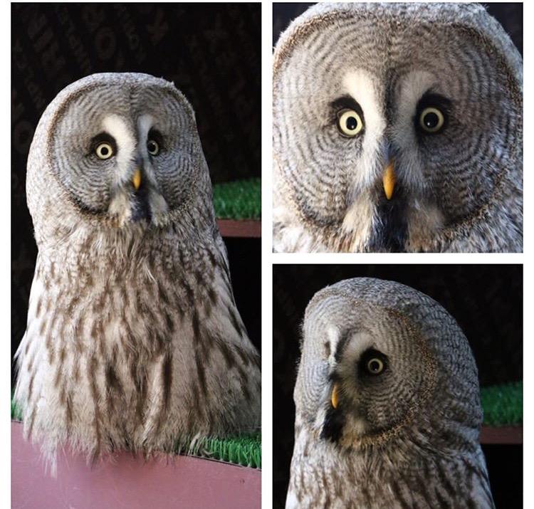 Mr Grey- Grey Owl