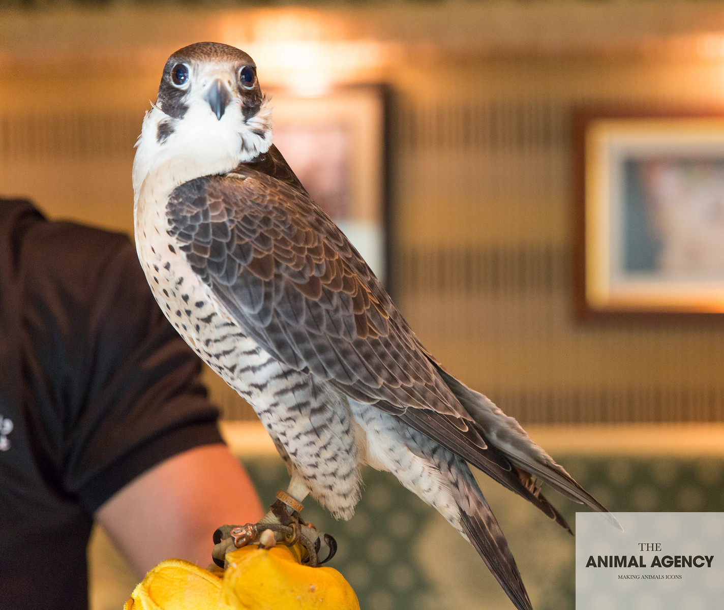 Heena the Peregrine