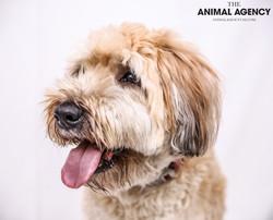 The Animal Agency UAE_Dog_Remy (2).jpg