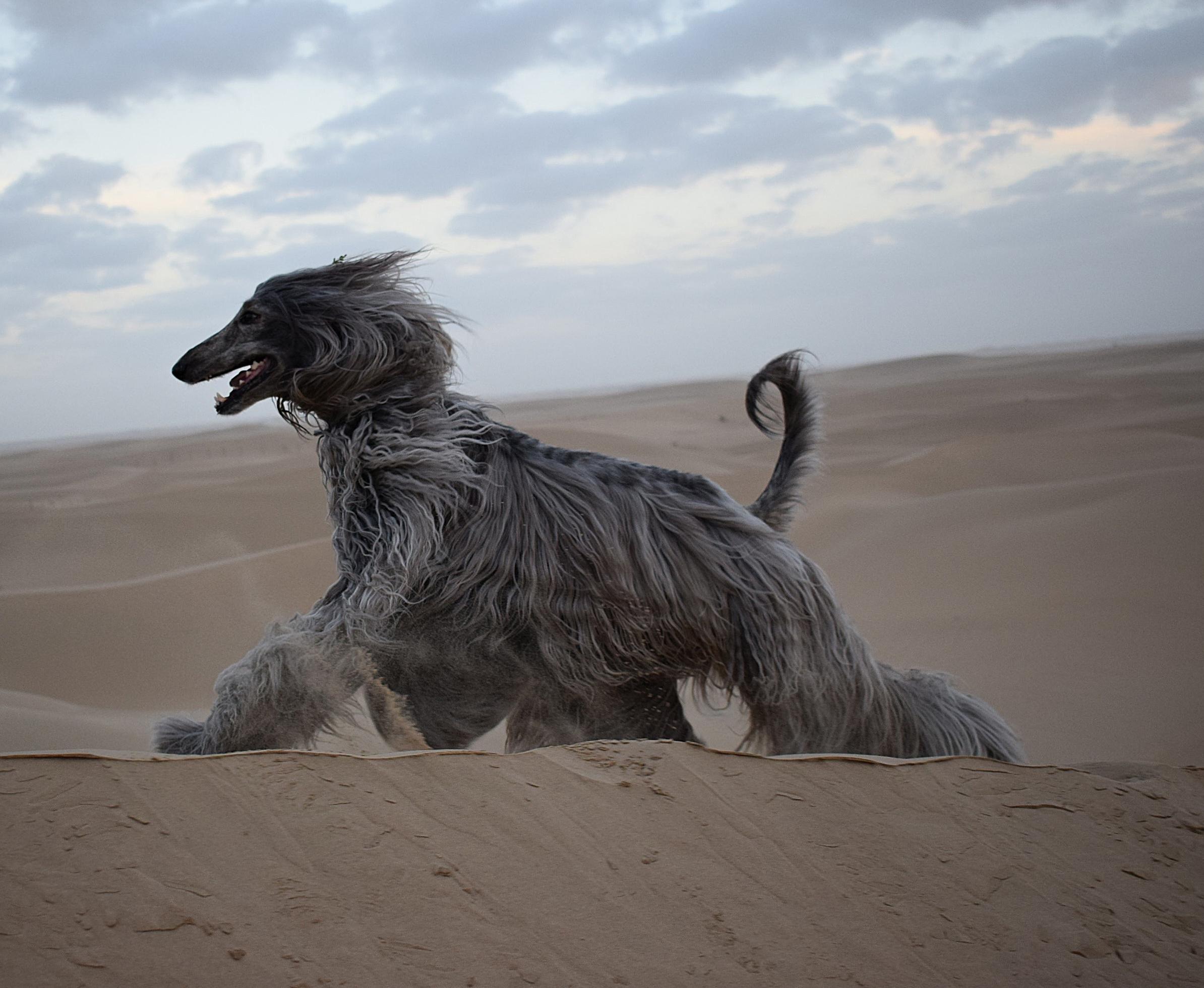 Vasya Afghan Hound