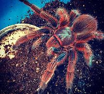 Veriscolour Tarantula.png