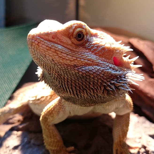 Diesel the Bearded Dragon