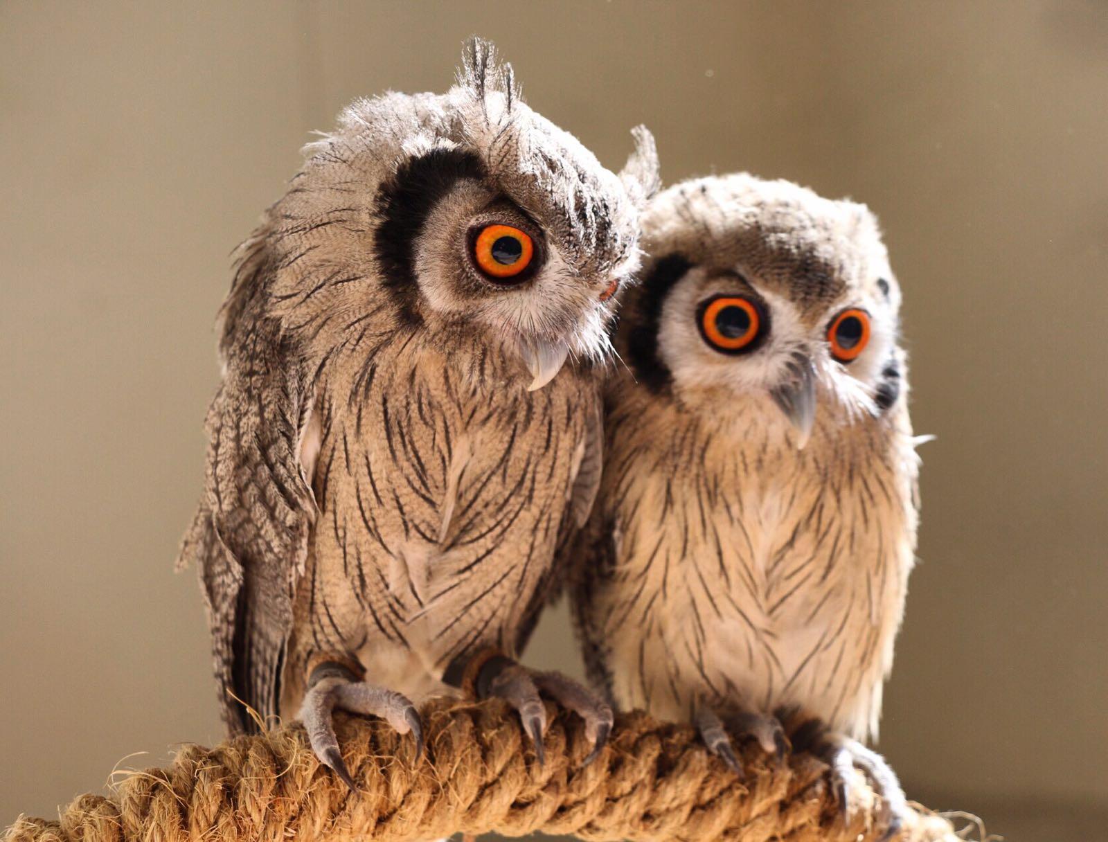 Scop Owls