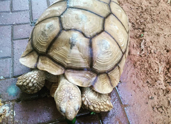 Linford the Tortoise