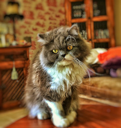 Fluffy- Persian