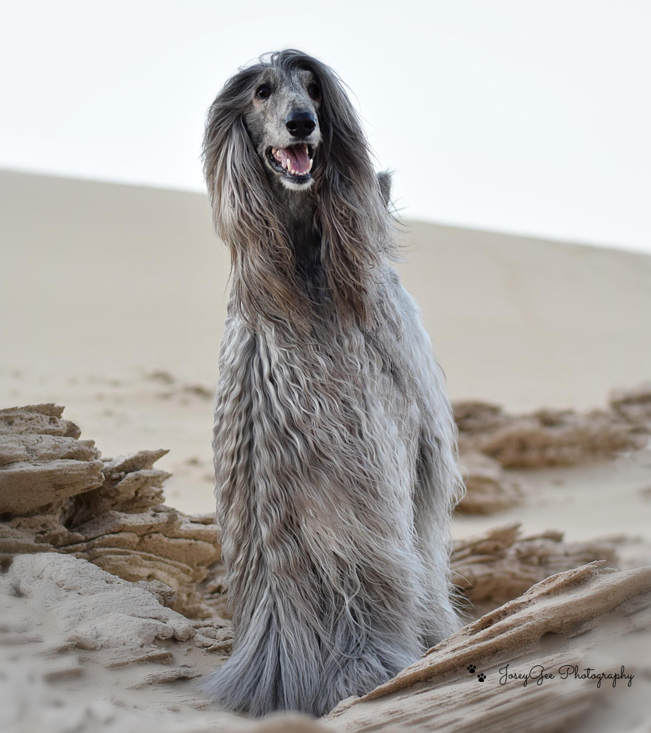 Vasya the Afghan Hound