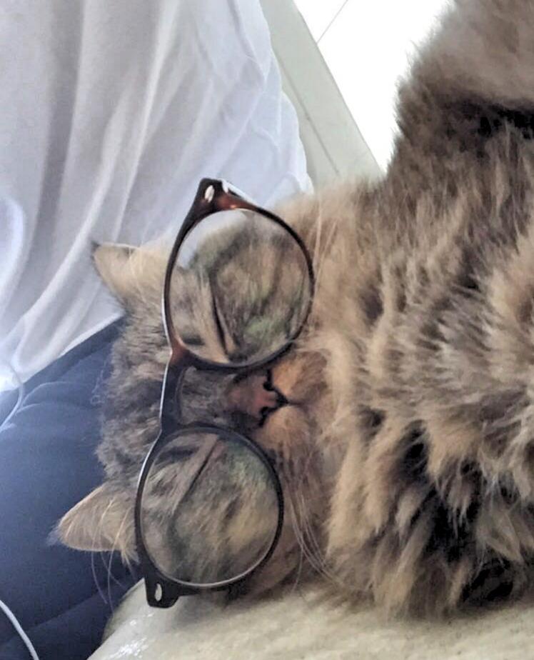 Ollie- Persian Cat