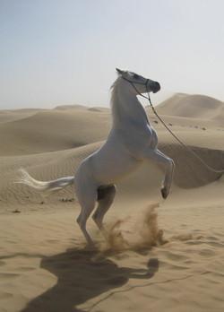 Hamasa-Arab Horse