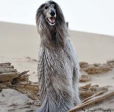 Vasya Afghan Hound 3.jpg
