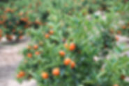 orange-grove-4709403_1920.jpg