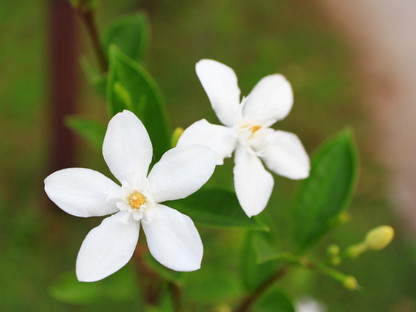 Jasmine's Miraculous Benefits Inside & Out: