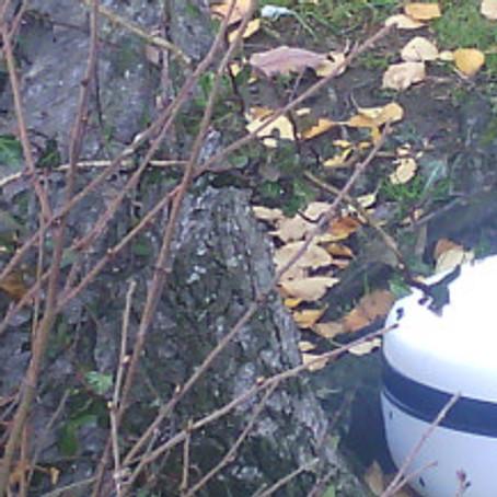 Birch: the Celtic tree for November