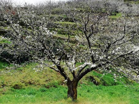 Cómo disfrutar de la temporada del Cerezo en Flor en el Valle del Jerte