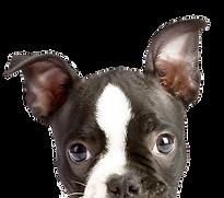 cachorro de la mirada furtiva