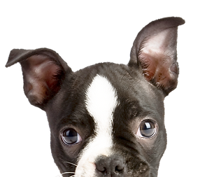 Piepende Puppy