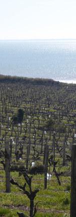 Les vignes au bord de l'Estuaire