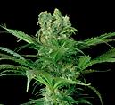 planta marihuana knockberry urbangenetiks